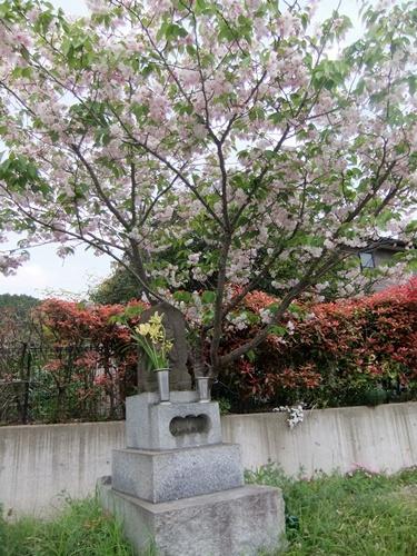 2013.4.23 鎌足桜の花 023 (10)