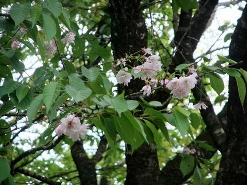 2013.4.23 鎌足桜の花 023 (5)