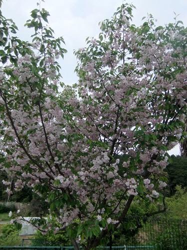 2013.4.23 鎌足桜の花 023 (15)