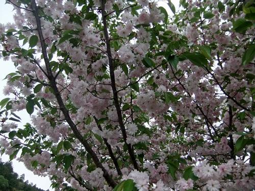2013.4.23 鎌足桜の花 023