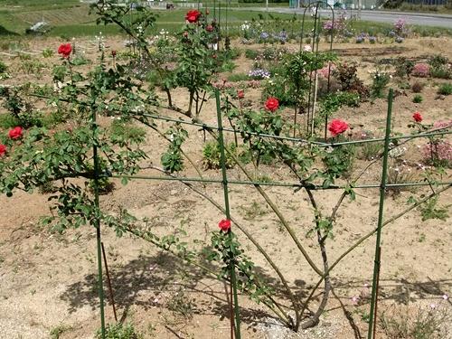 2013.5.15 バラたちの花(林農園) 049 (2)