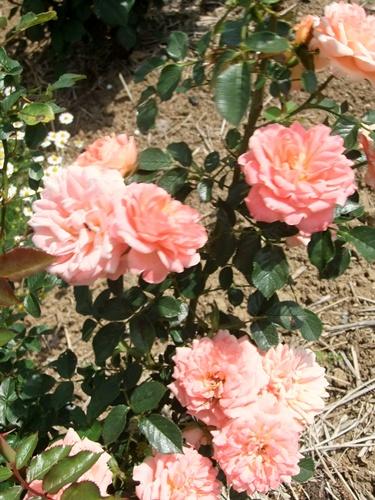 2013.5.15 バラたちの花(林農園) 049