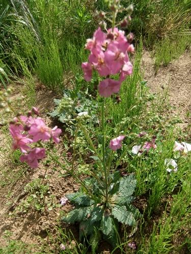 2013.5.15 野菜たちの花(ハーブ類) 030 (4)