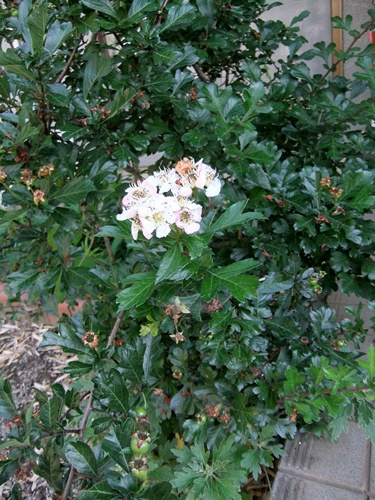 2013.6.1 庭の花木(伊藤農園) 015 (2)