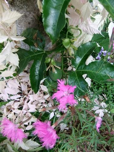 2013.6.1 庭の花木(伊藤農園) 015 (6)