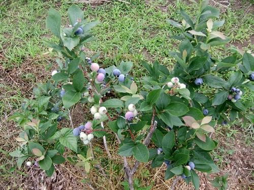 2013.6.9 ブルーベリー収穫(伊藤農園) 029 (4)
