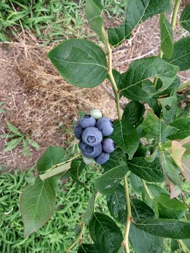 2013.6.9 ブルーベリー収穫(伊藤農園) 029 (1)