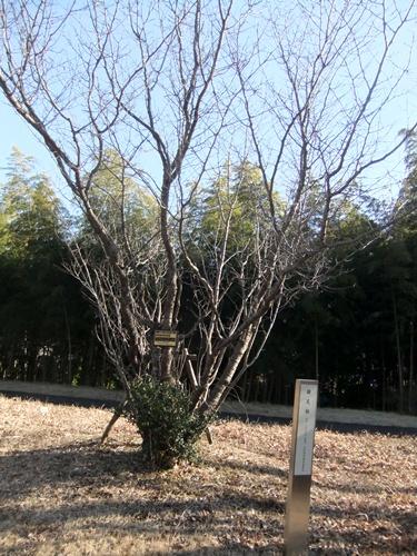 2014.1.28 アカデミア公園(鎌足桜植樹立会い) 002 (1)