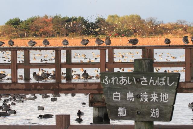 白鳥渡来地 (1)