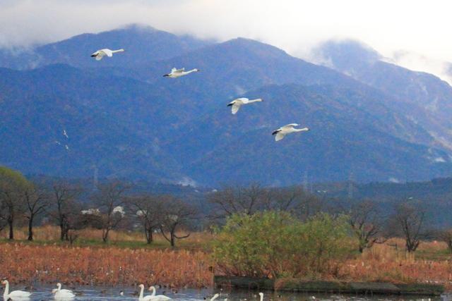 白鳥渡来地 (9)