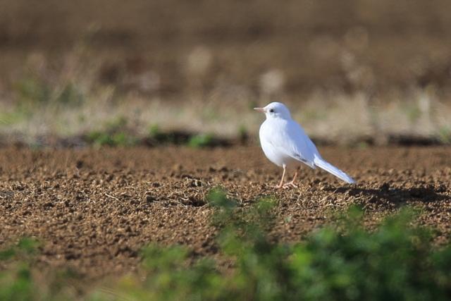 白いハクセキレイ (1)