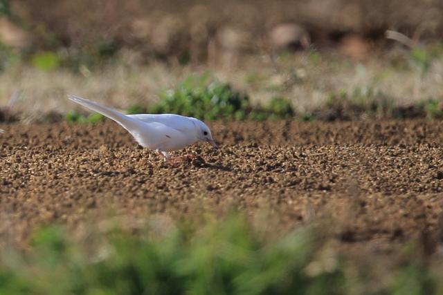 白いハクセキレイ (2)