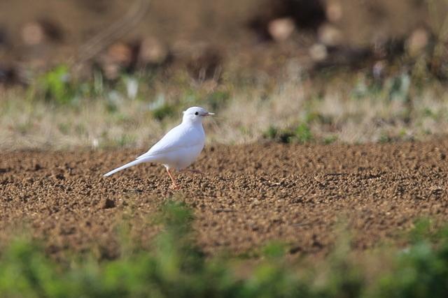 白いハクセキレイ (4)