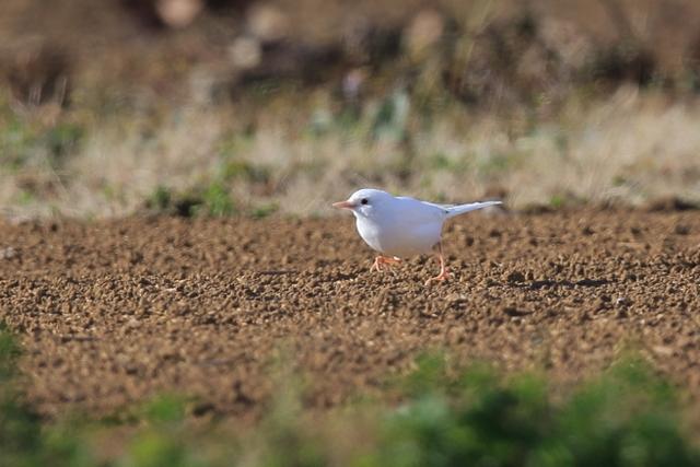 白いハクセキレイ (5)