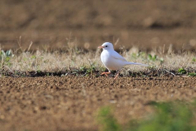 白いハクセキレイ (8)
