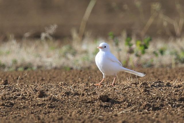 白いハクセキレイ (10)