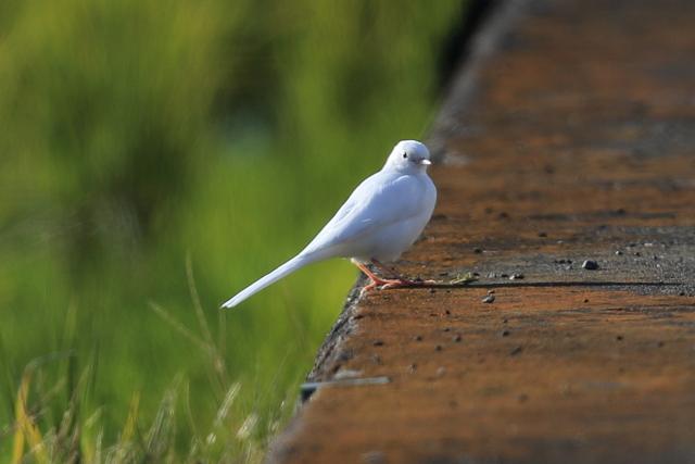 白いハクセキレイ (12)
