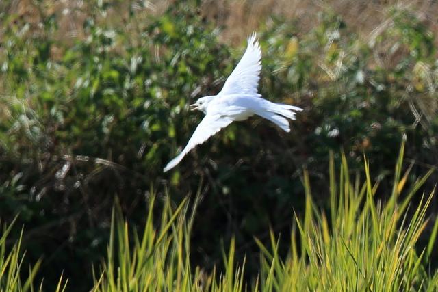 白いハクセキレイ (14)
