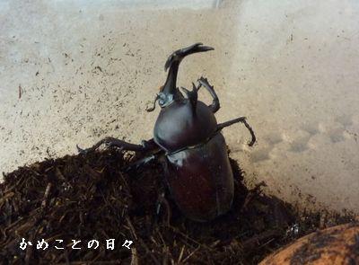 P1650536-kabu.jpg