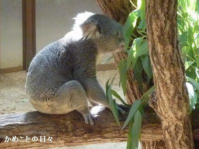 P1670182-koala.jpg
