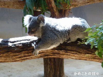 P1670189-koala2.jpg