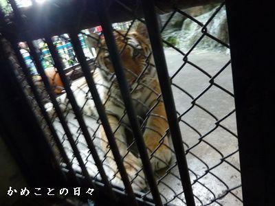 P1700935-tiger.jpg