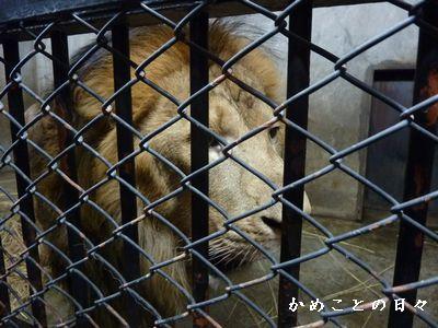 P1700966-lion.jpg