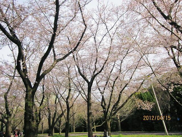 万博公園花見2