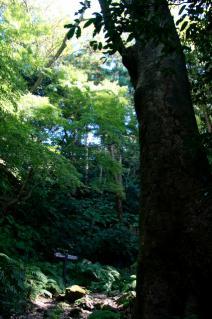 浦賀道(鎌倉):名越切通途上のケヤキ