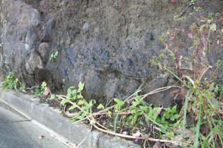 逗子・鐙摺の露頭からの地下水滲出-1