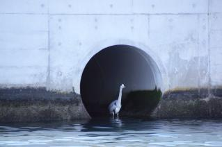 浦賀:暗渠出口のアオサギ