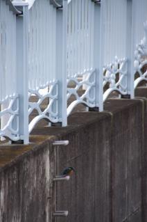 旧東海道:千ノ川・鳥井戸橋下のカワセミ-2