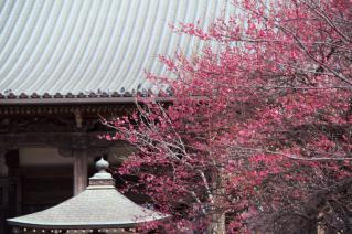 藤沢・遊行寺:紅梅と本堂