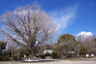 藤沢・遊行寺:遊行寺の大銀杏