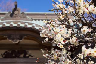 藤沢・遊行寺:真徳寺境内の白梅