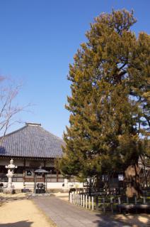 橋本・香福寺本堂と高野槇