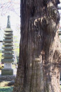橋本・香福寺高野槇と石塔