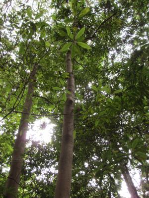 バリバリの木2