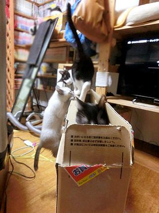 ダンボではしゃぐ仔猫達:*:・(*´艸`*)