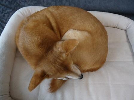 ベーグル犬