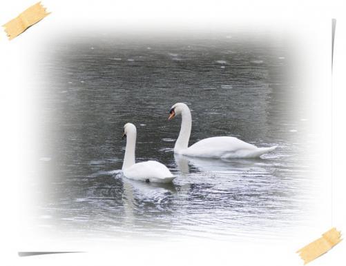 白.鳥-01