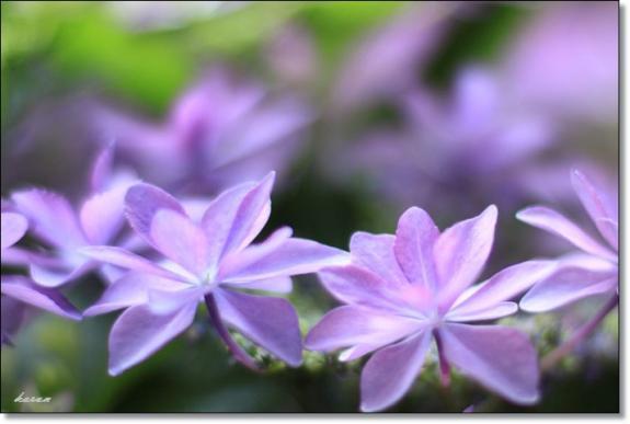紫陽花--02