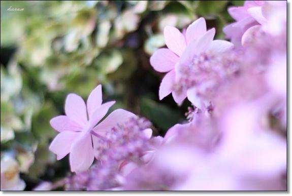 紫陽花--01