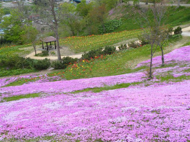 見事な芝桜