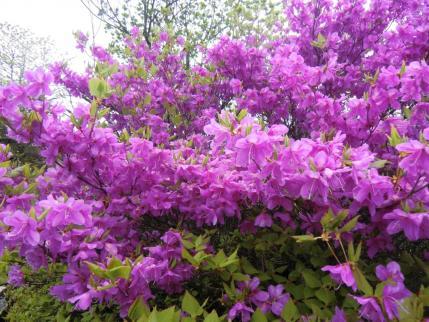 スゴイ花数のミツバツツジ