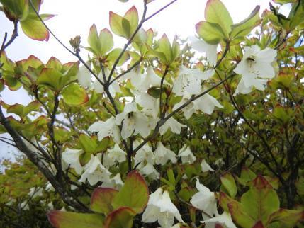 シロヤシオ 葉が色づいてる