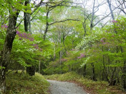 シロヤシオとミツバツツジの道
