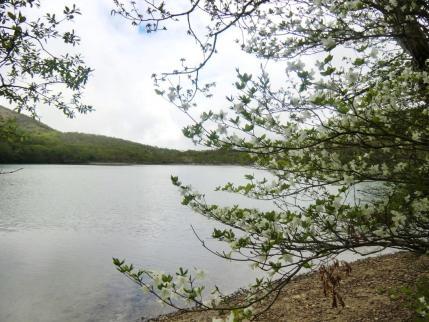 小沼畔のシロヤシオ