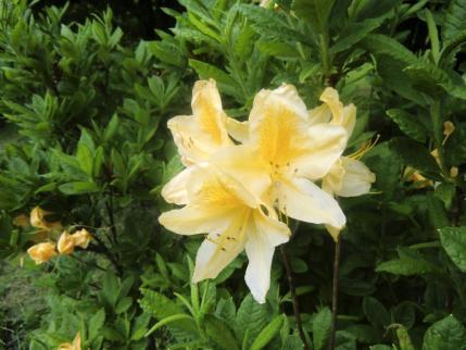 黄花のレンゲツツジ2