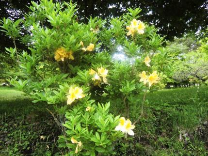 黄花のレンゲツツジ